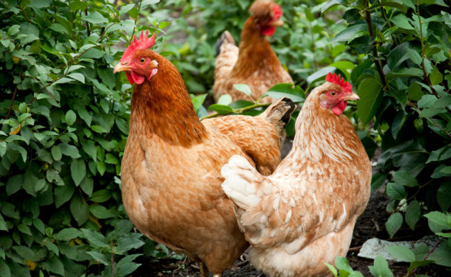 chicken-live-shutterstock_80730151